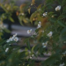 Rosa cymosa