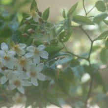 Rosa moschata (小輪)